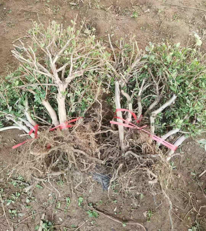 四季树形三年苗